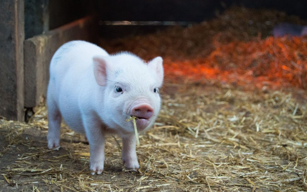 The Year of the Pig – Chinese Zodiac Personality. What Type of Pig Are You?